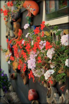 flowers peace photography holland zaanseschans